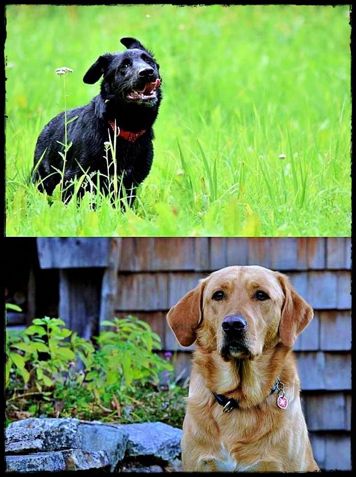 Labrador Breeders Kent Going To Buy Labradorrescueessex