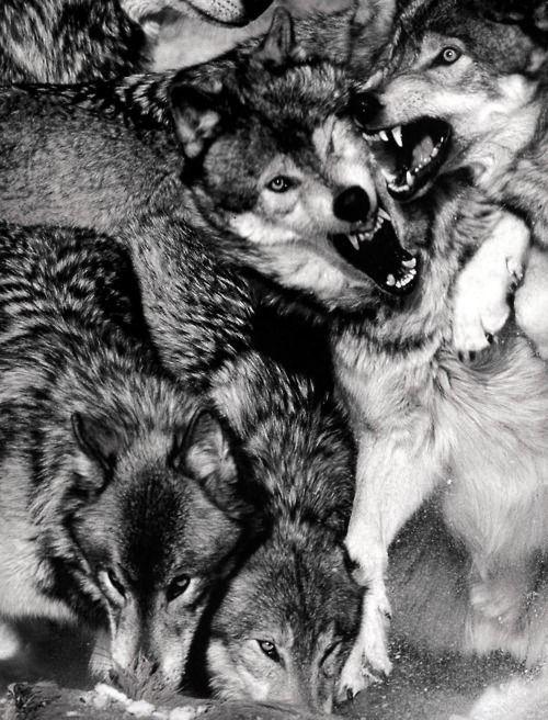 Manada Animales Pinterest Lobos Perro Lobo Y Animales