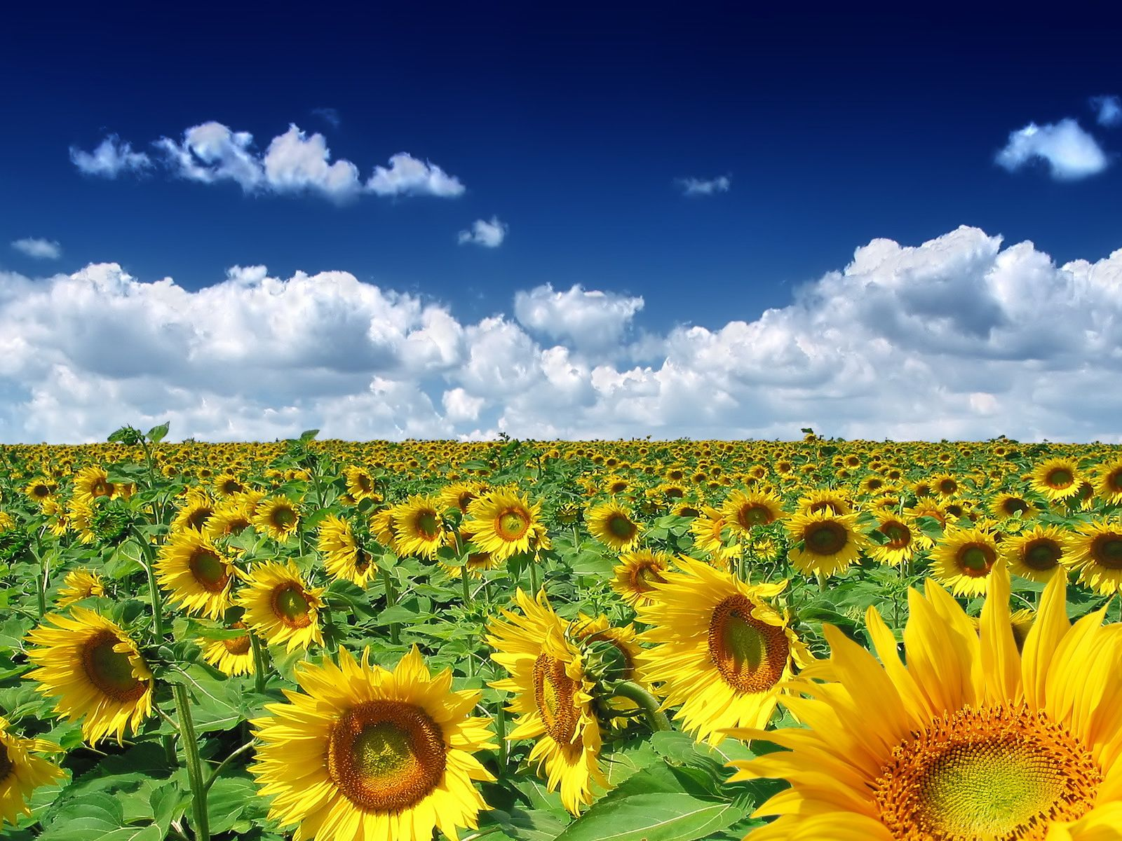 Image Detail For Sunflower Picture High Quality And Resolution Wallpaper Summer Wallpaper Beautiful Nature Wallpaper Spring Wallpaper