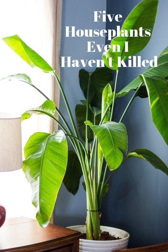 Five Houseplants Even I Haven T Killed Big Indoor Plants Plants Indoor Plants