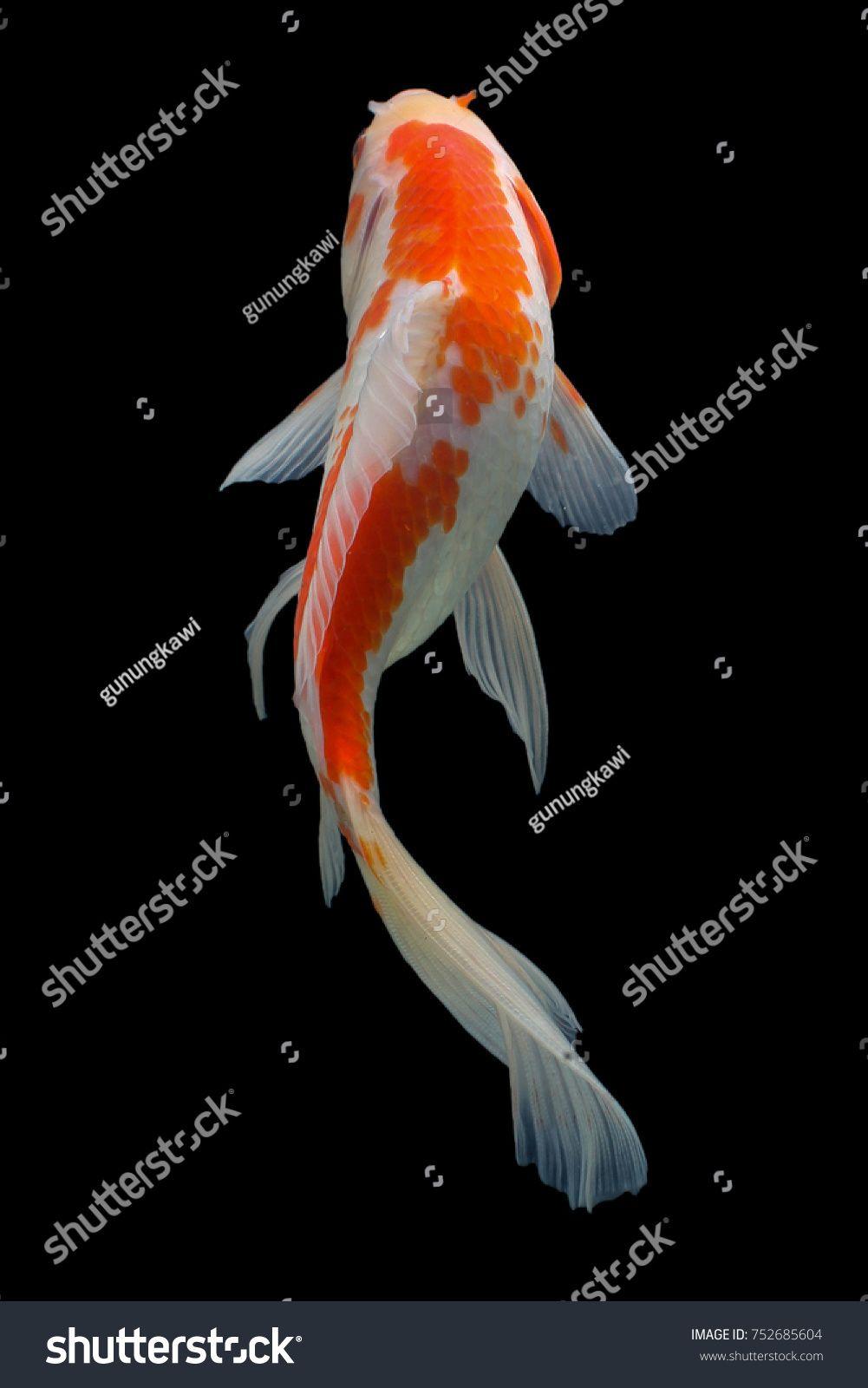 Koi Fish Gold Silver Red Black Black Koi Fish Koi Fish Koi
