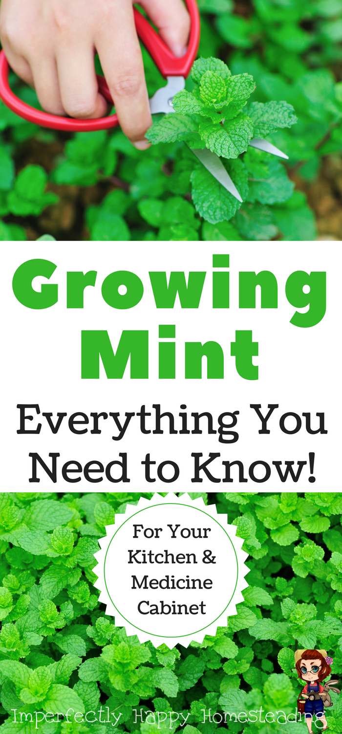 Everything You Need to Know About Growing Mint   Gardening