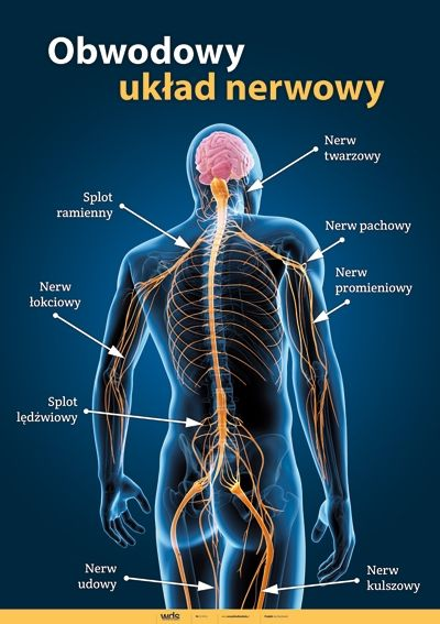 Nerwy Obwodowe Szukaj W Google Human Anatomy Pinterest Human