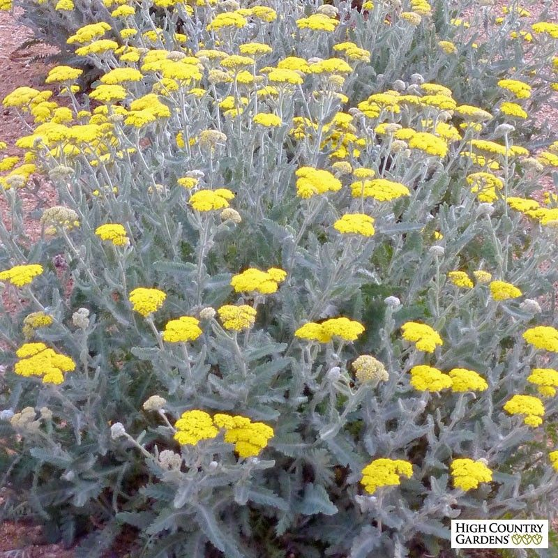 Moonshine Yarrow Water Wise Plants Perennial Plants Plants
