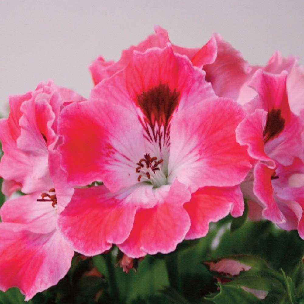 Martha Washington Geraniums Care: Flowers, Geraniums