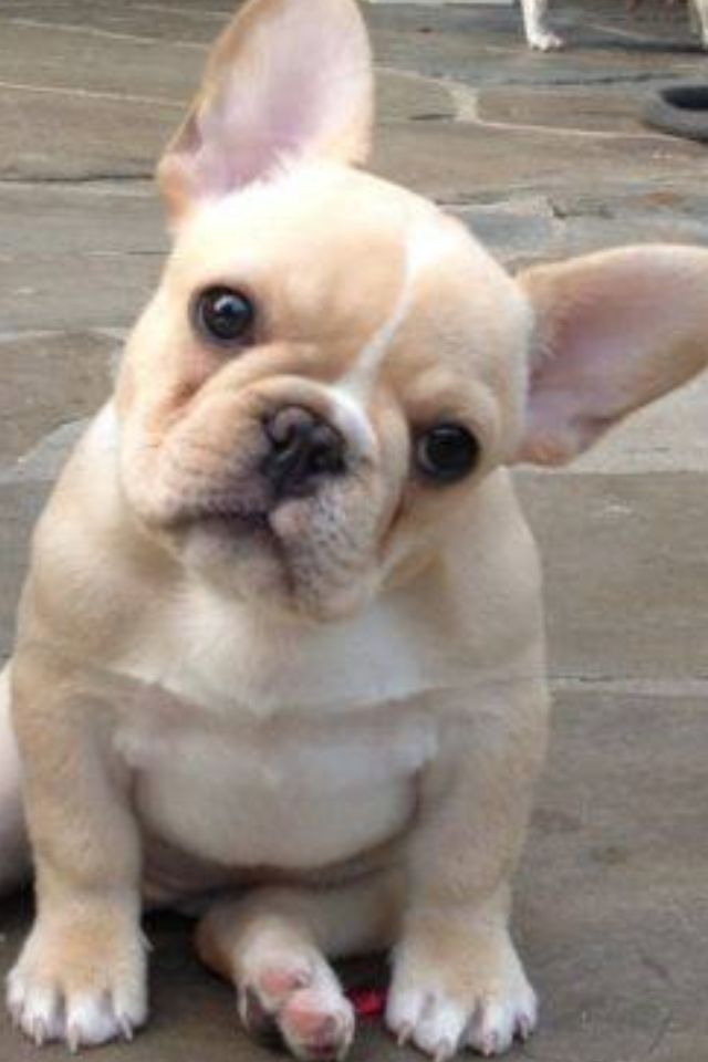 Cute Blonde Frenchy Say What Susse Tiere Franzosische Bulldoggenbabys Hundebabys