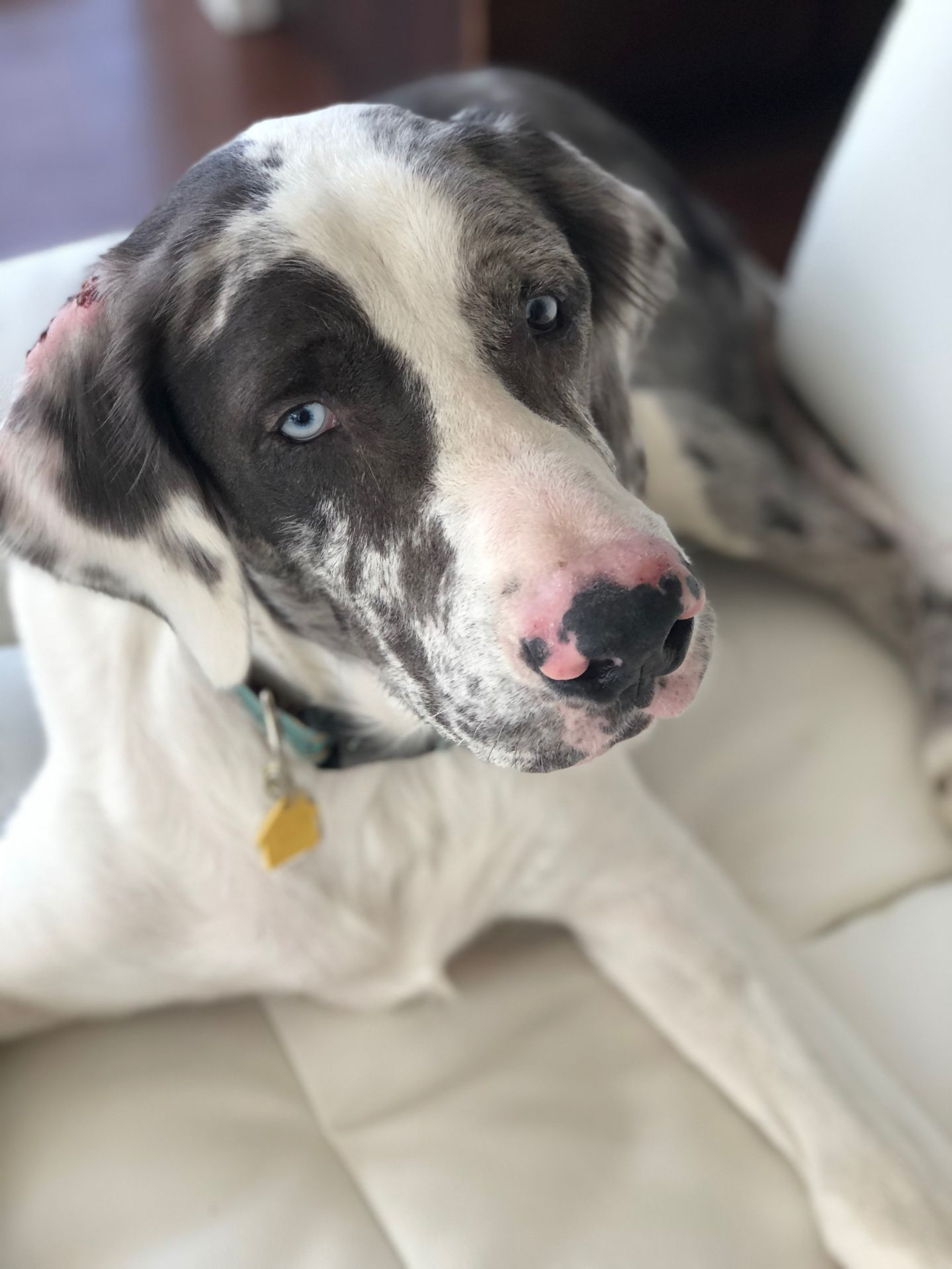 Adopt Hank On Keeping Up With The Landscaping Great Dane Puppy