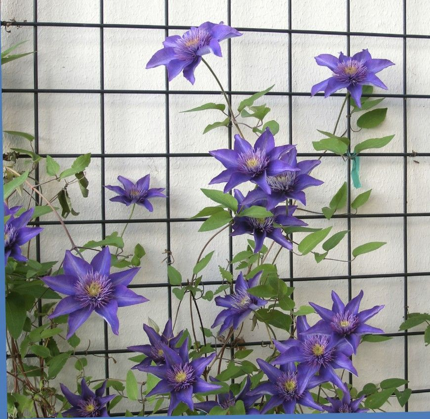 Ordinary Trellis For Clematis Ideas Part - 12: This Gallery Features 27 Beautiful And Diverse Metal And Wood Trellis And  Lattice Ideas For Use In Gardens And Lawns.