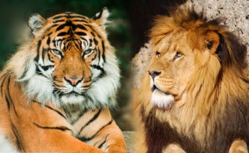 Lions And Tigers My Bestfriends Lion Lion Pictures Tiger