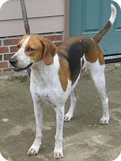 Treeing Walker Coonhound Pointer Mix Dog For Adoption In Raeford