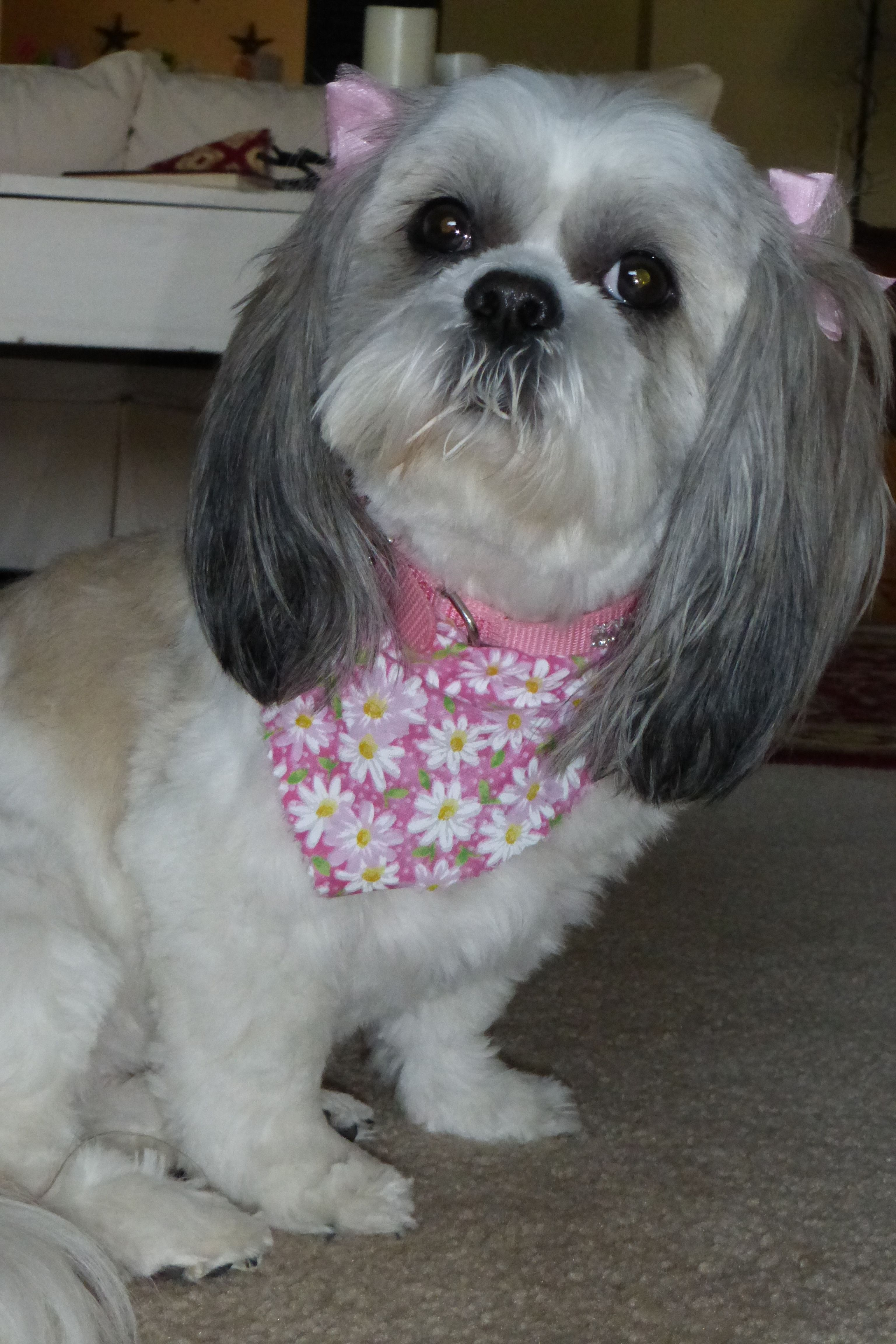 ♥Dallas back from the groomers♥