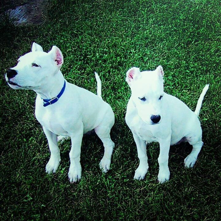 Dogo Argentino Argentina Dogo Perros Peligrosos Animales Hermosos