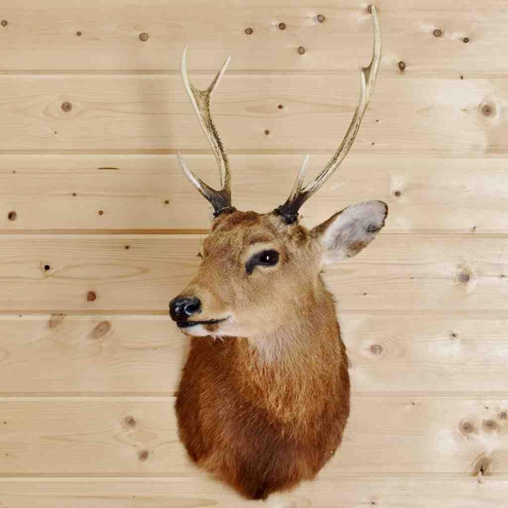 Sika Deer Taxidermy Mount - SW4269