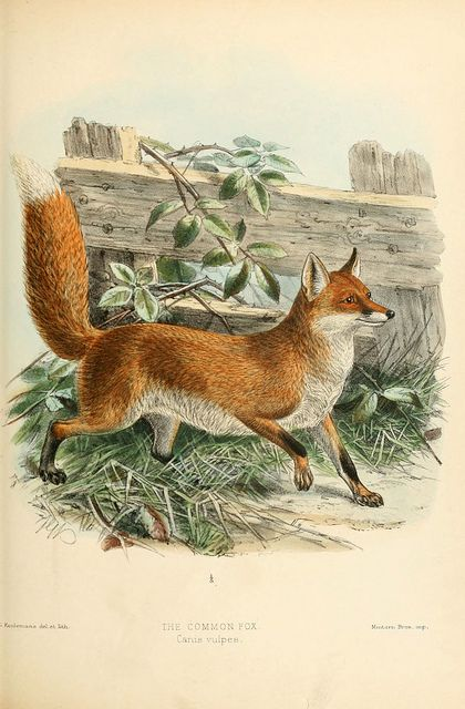 """The Common Fox (Canis vulpes) from """"Dogs, jackals, wolves and foxes"""" London R.H.Porter 1890 via Biodiversity Heritage Library"""