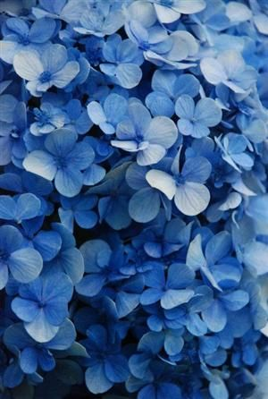 Blue Flowers Blue Flowers Beautiful Flowers Blue Aesthetic