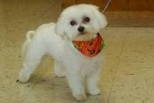Imposter Dog Grooming Poodle Haircut Poodle Haircut Styles