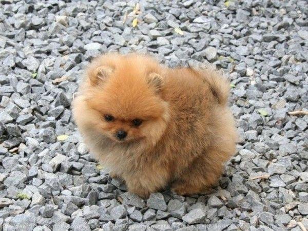 B b spitz allemand image de b b chien pinterest dog animal and animaux - Image bebe chien ...