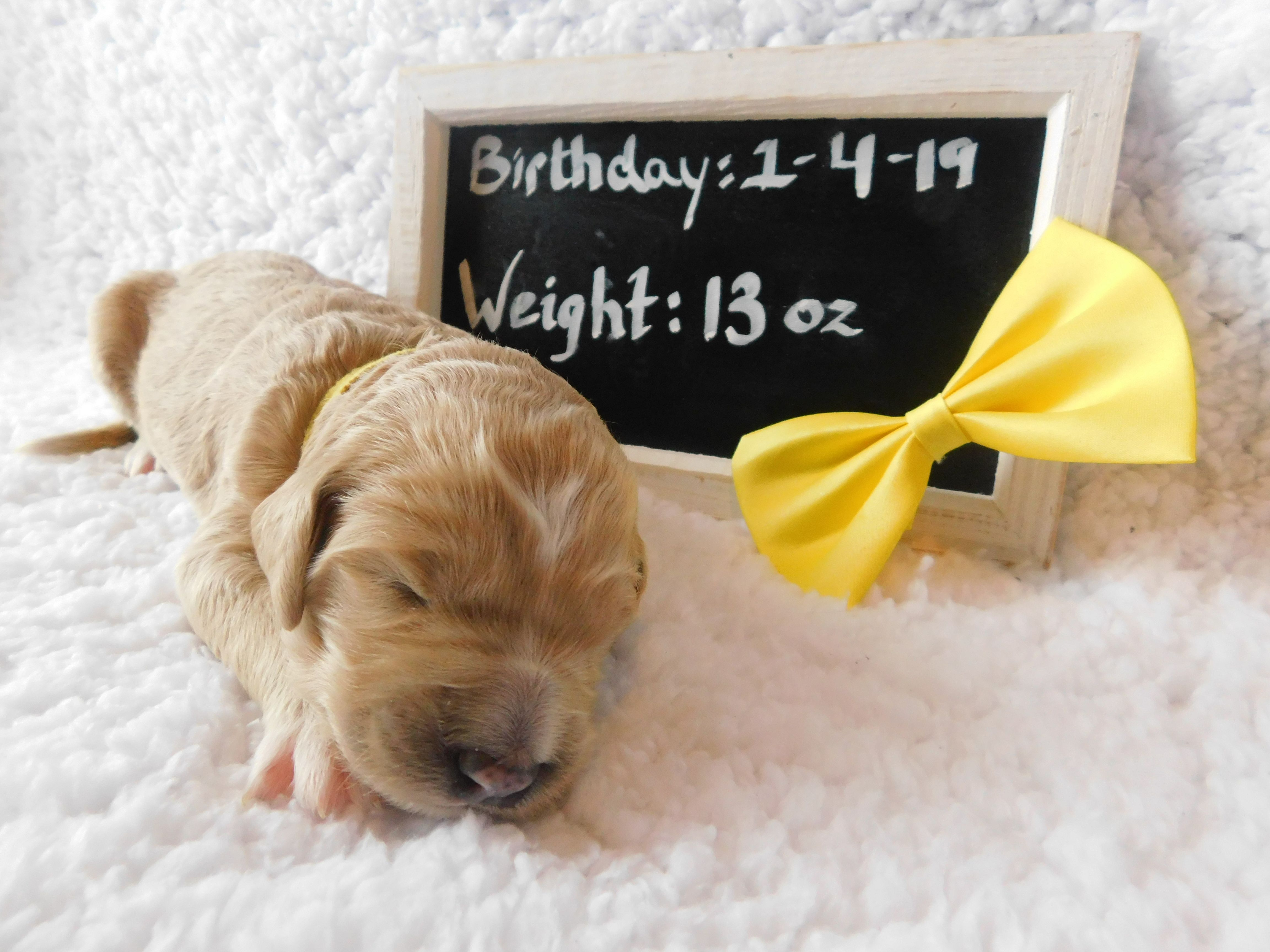 Lilly a new female F1B CKC Goldendoodle puppy born in