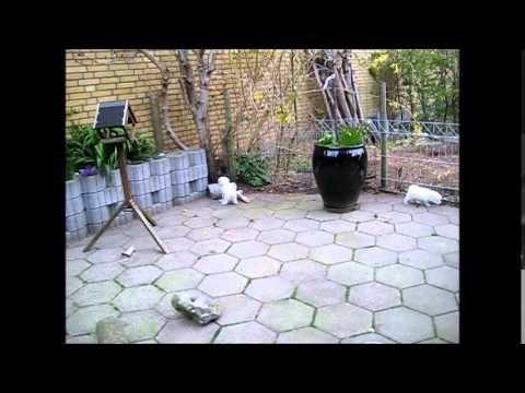 Bichon Frisé hvalpe 6 uger + (30. video) - http://dailyfunnypets.com/videos/dogs/bichon-frise-hvalpe-6-uger-30-video/ - Fra Vejles Lille Kennel. - bichon, cute, dog, doggy, dogs, fr, frise, kennel, lege, lille, livlige, pet, pets, playing, puppy, selskabshund, sjove, Small, små, søde, toy, vejles