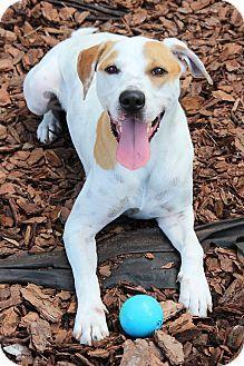 Tampa Fl American Bulldog Labrador Retriever Mix Meet Pete Just A Good Ole Boy A Dog For Adoption H American Bulldog American Bulldog Mix Dog Adoption