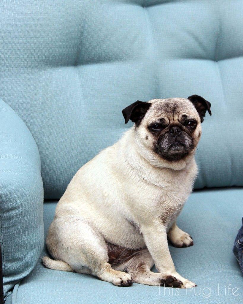 Pug Palooza French Bulldog Shedding Cute Pugs Pugs