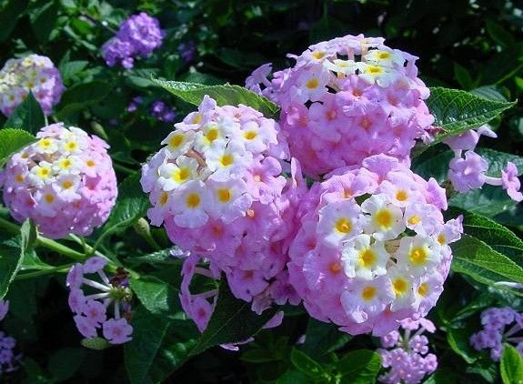 Lantana Camara Flower Pictures Plants Flower Names