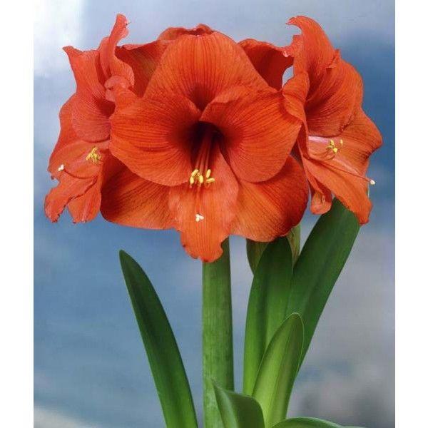 Amaryllis 'Orange Souvereign' (Hippeastrum hybrid) vibrant orange blooms add a festive touch around the holidays.