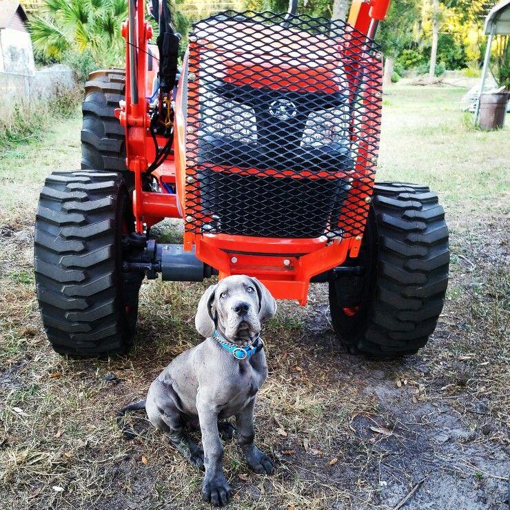 Great Dane Puppy Fergus Kubota Tractor Fergus The Blue Great
