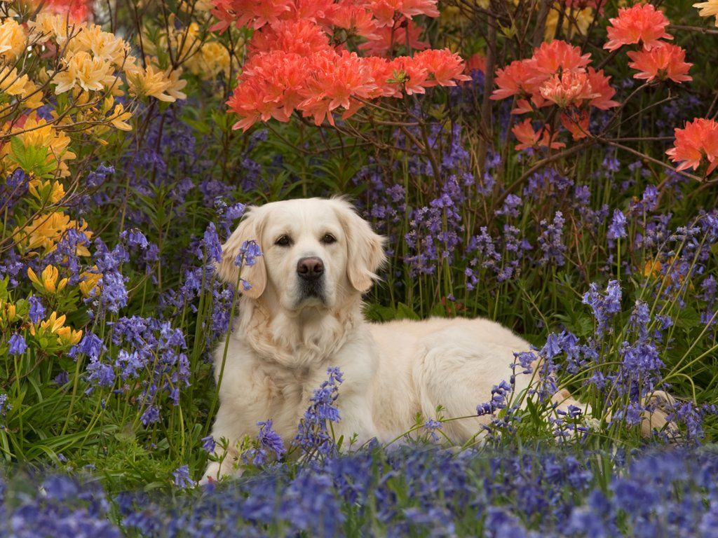 Golden Retriever In Spring Webshots Pinterest