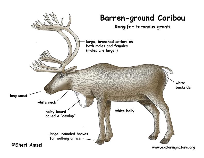 f7d8d6d161c2f5e43a6d1a589cb2fa46 a diagram about reindeers caribou (barren ground and woodland