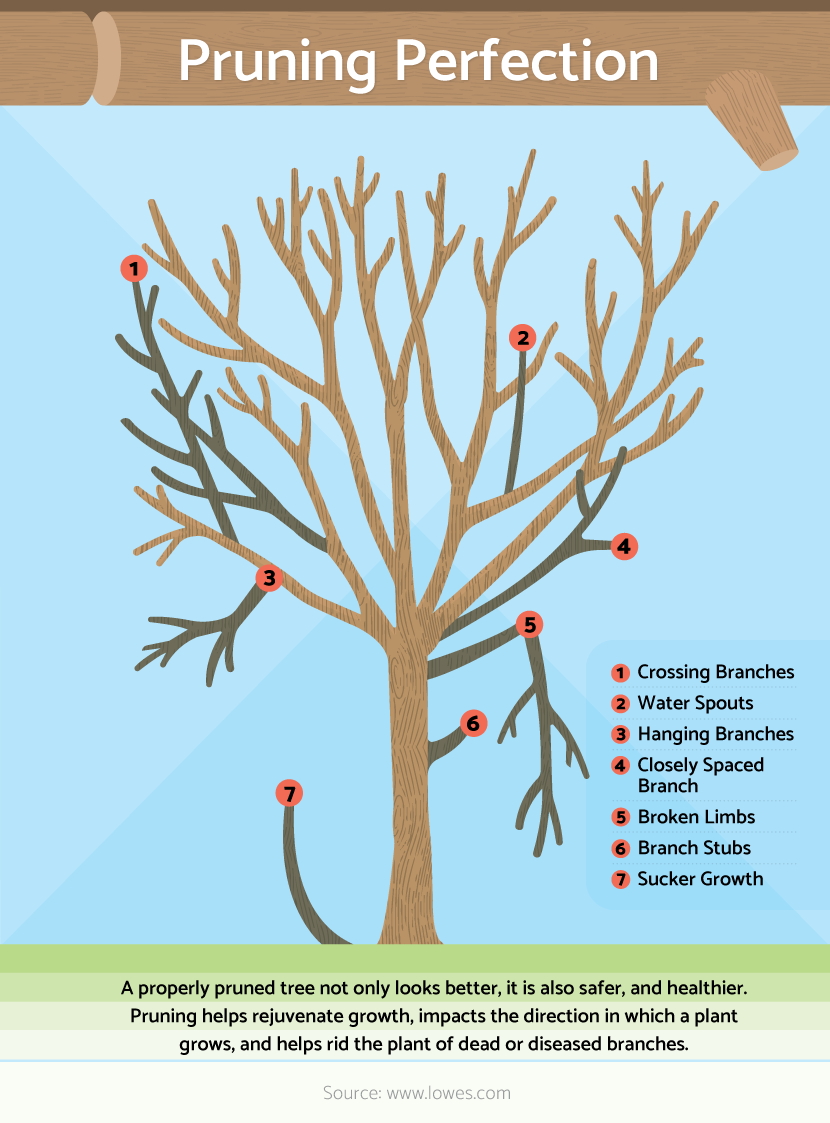 Pruning Primer Basic Steps For Pruning Trees And Shrubs Growing Fruit Trees Pruning Fruit Trees Garden Trees