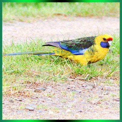 Green Rosella Tasmanian Rosella Australian Parrots Australian Animals Australian Birds