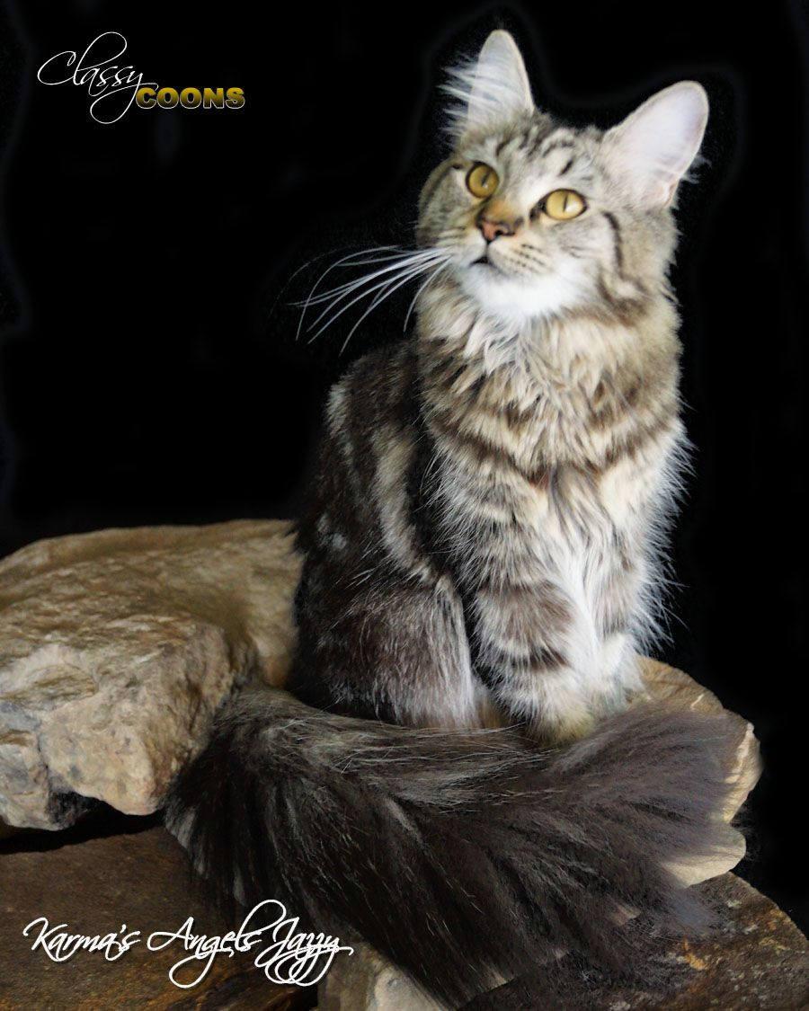 Pin Na Doske Classy Coon Maine Coons