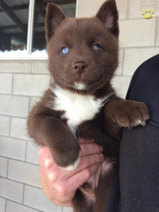Ace Pomsky Puppy For Sale In Sugarcreek Oh Buckeye Puppies Pomsky Puppies Cute Baby Animals Lab Puppies