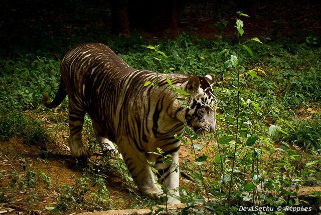 Animal Variations Melanistic Animals Melanistic Animals