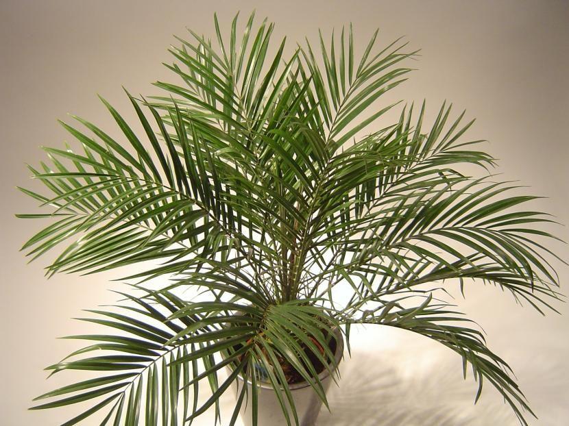 4 tipos de palmeras para tener en maceta http www for Tipos de plantas para macetas