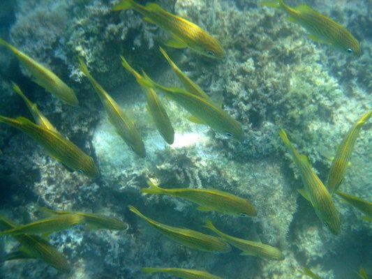 El Pez Rabirubia es un nadador activo que forrajea en la columna de agua sobre los arrecifes. Se caracteriza por una línea amarilla por la mitad del cuerpo, desde el ojo hasta la cola.