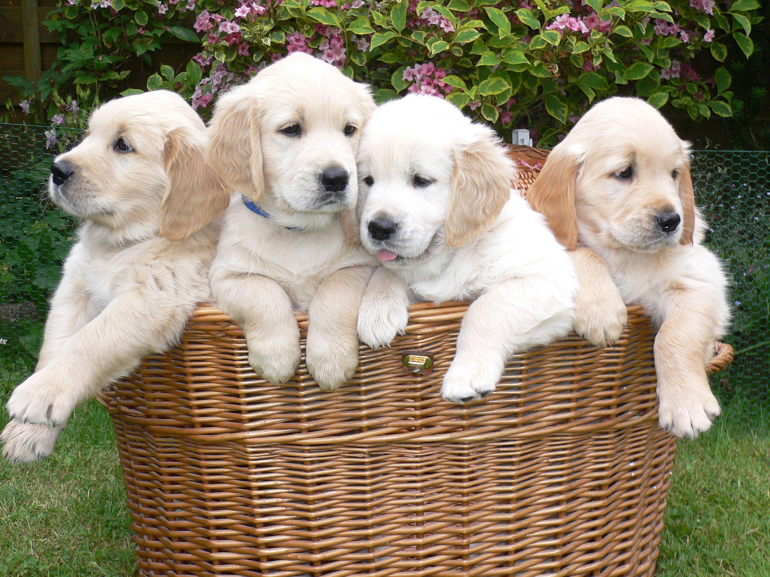 What S Cuter Than A Goldenretriever Pup A Basket Full Of Golden