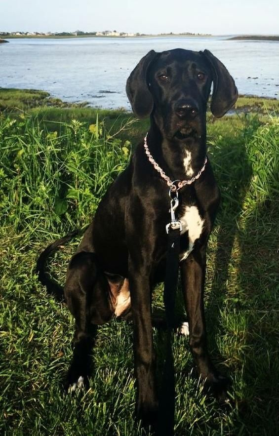 Adopt Mia On Great Dane Rescue Great Dane Dogs Black Great Danes