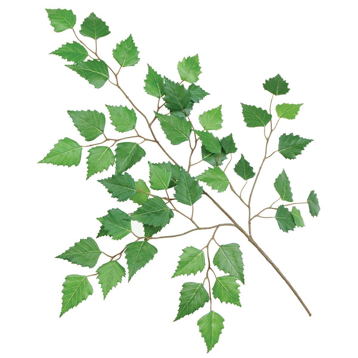Image result for Betula pendula