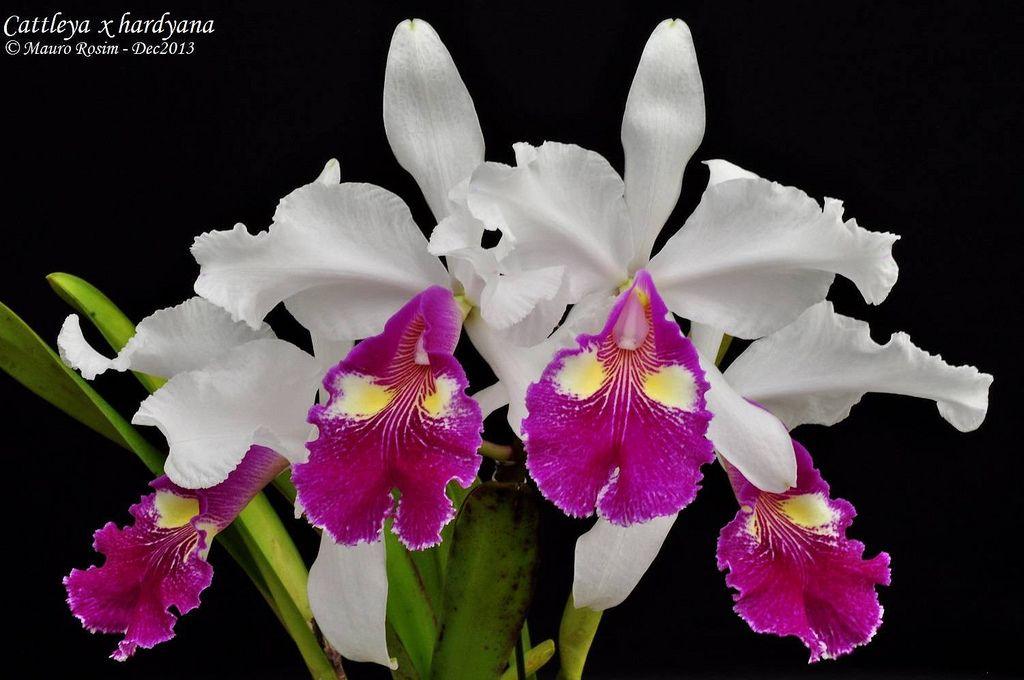 Cattleya X Hardyana Cattleya Orchid Orchidaceae Orchids
