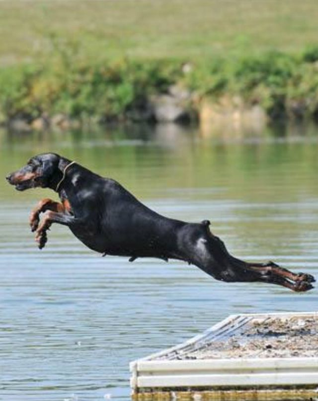What A Beautiful Doberman Jump Doberman Dogs Dobermann