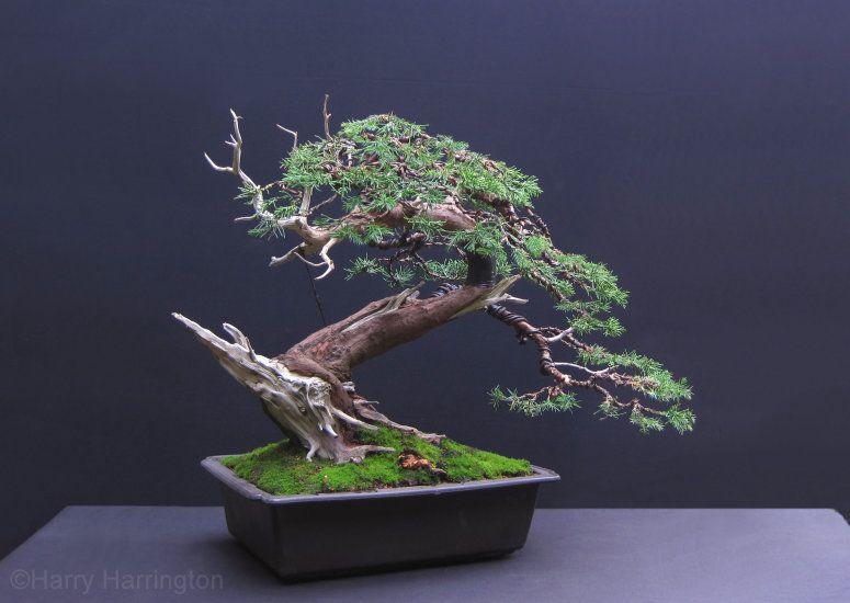 San Jose Juniper Bonsai Juniper Bonsai Bonsai Tree Bonsai Tree Care