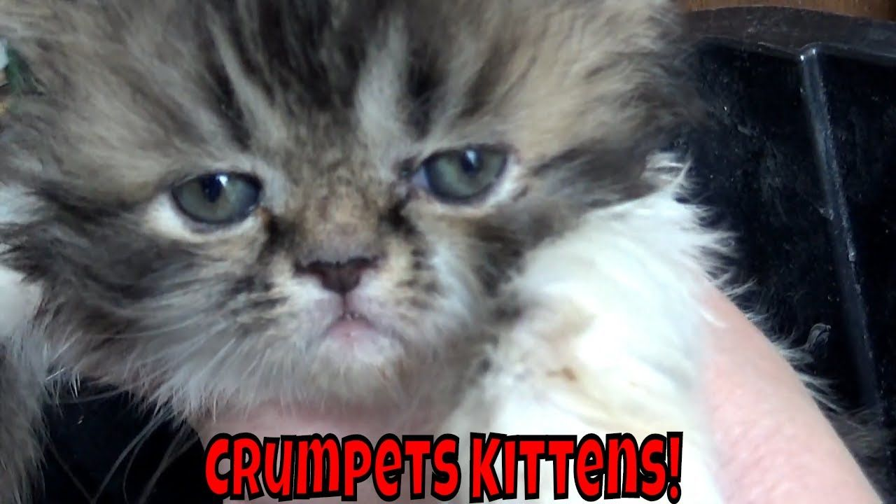 Crumpets Kittens Turned 4 Weeks Old Grumpy Kittens Kittens Grumpy Kittens Cutest