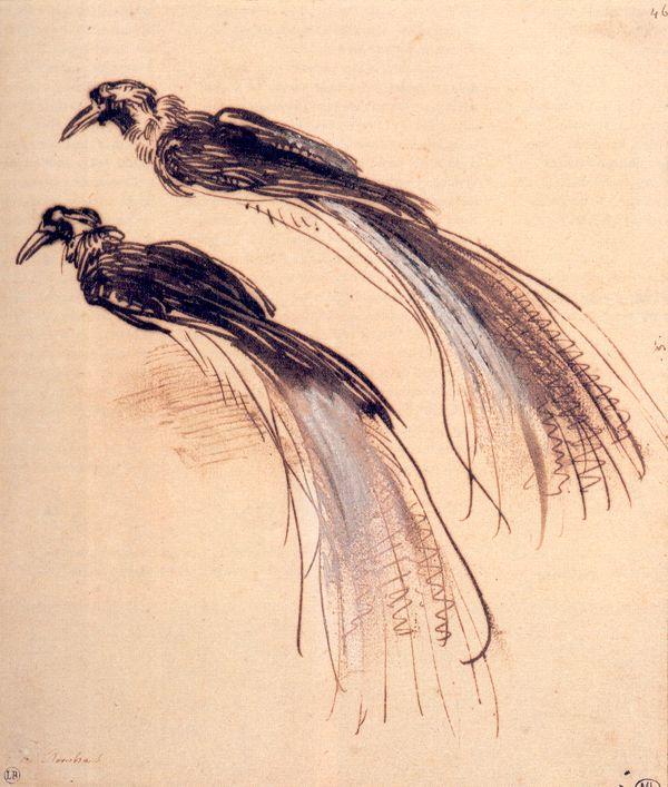 Dois estudos da ave-do-paraíso. Desenho, 1637