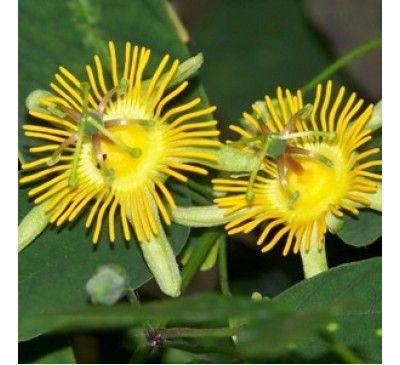 Passiflora Yellow Krishnakamal Yellow Passion Flower Passiflora Strange Flowers