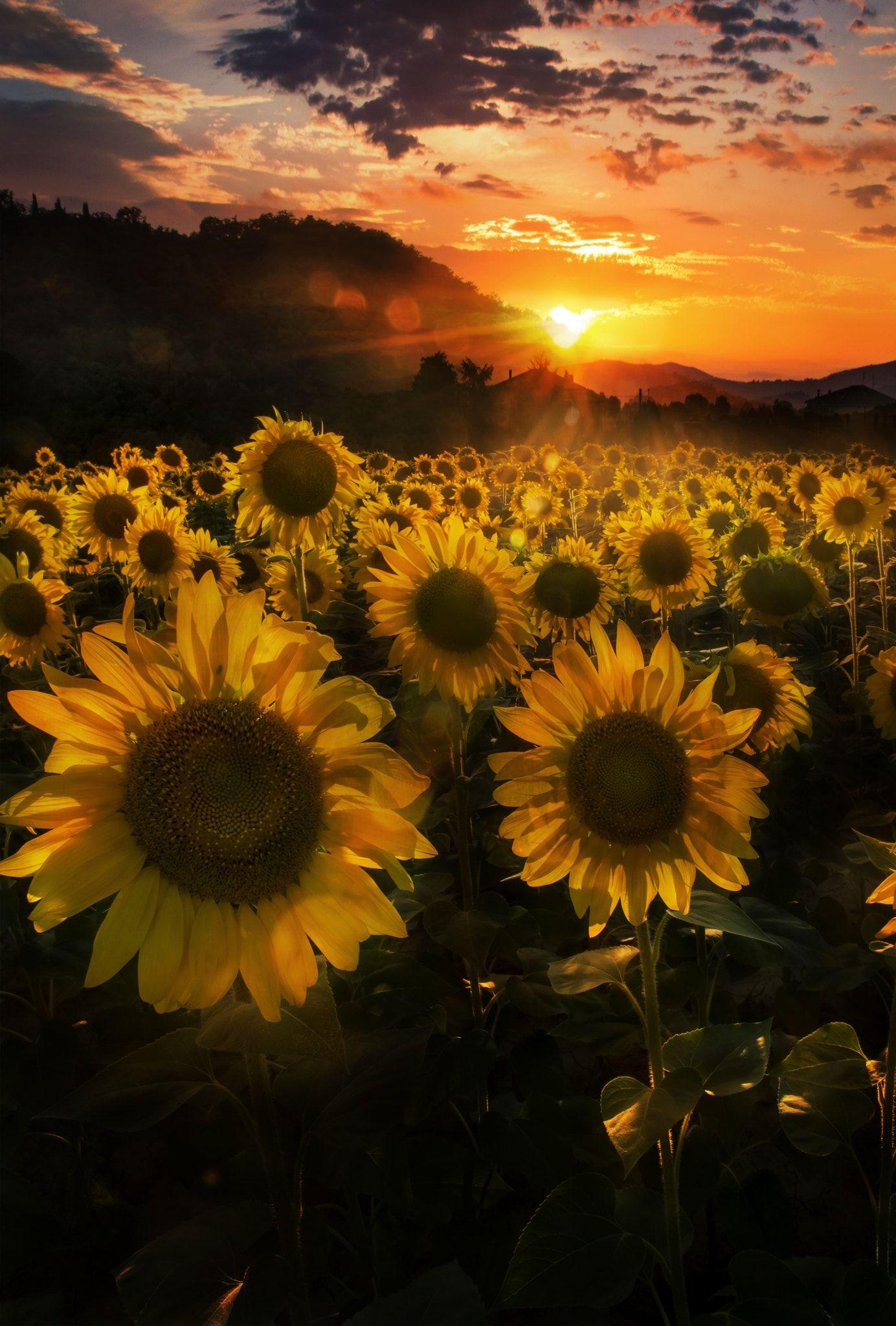 Sunset among sunflowers - null | Sunflowers | Pinterest | Sunflowers ...