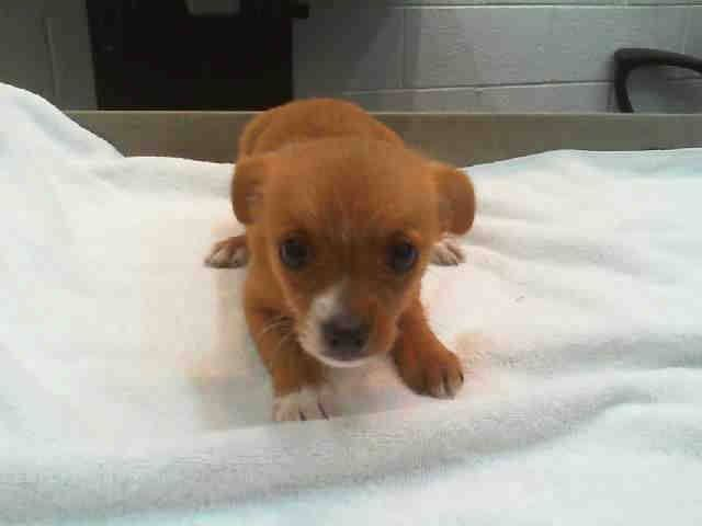 WILLA (A1668868) I am a female tan and white Chihuahua - Long Haired. The shelter staff think I am about 8 weeks old and I weigh 3 pounds. I was turned in by my owner and I am available for adoption. — hier: Miami Dade County Animal Services https://www.facebook.com/urgentdogsofmiami/photos/pb.191859757515102.-2207520000.1419638289./896943083673429/?type=3&theater