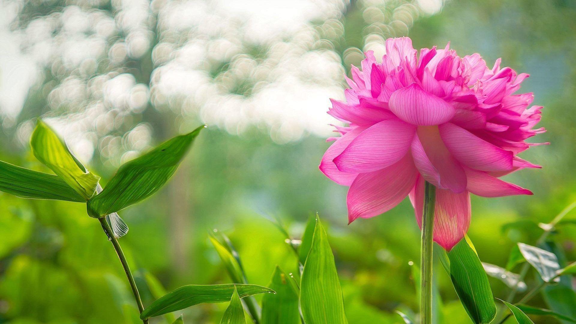 Flowers Lovely Lotus Nature Pink Flower Wallpaper For Windows 7 Free