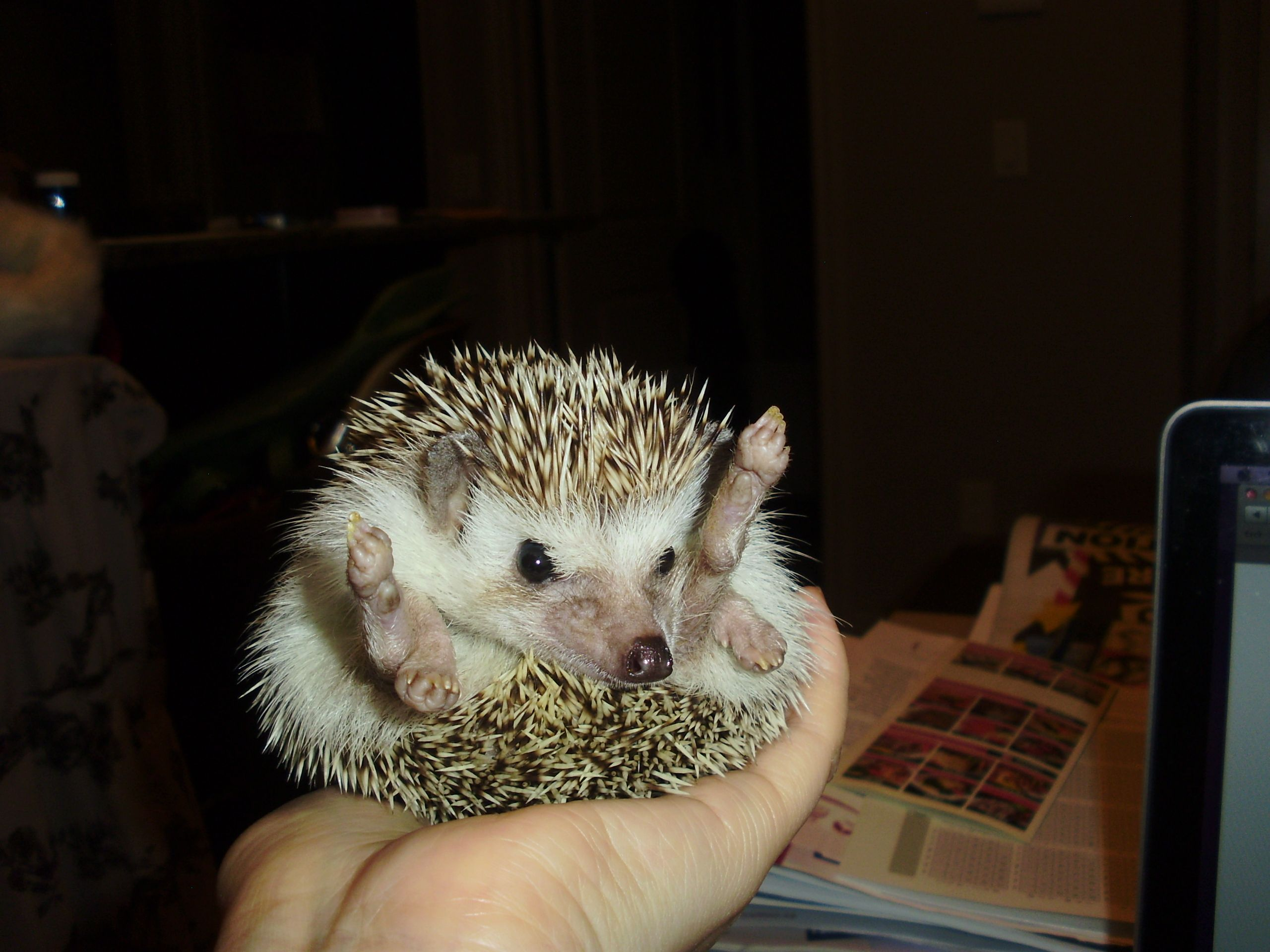 Chilling out with my hedgehog